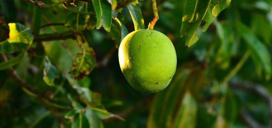 Mango: Jak roste a proč ho tak milujeme?