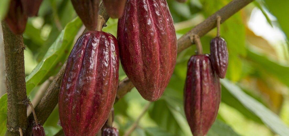 Jak roste kakao?