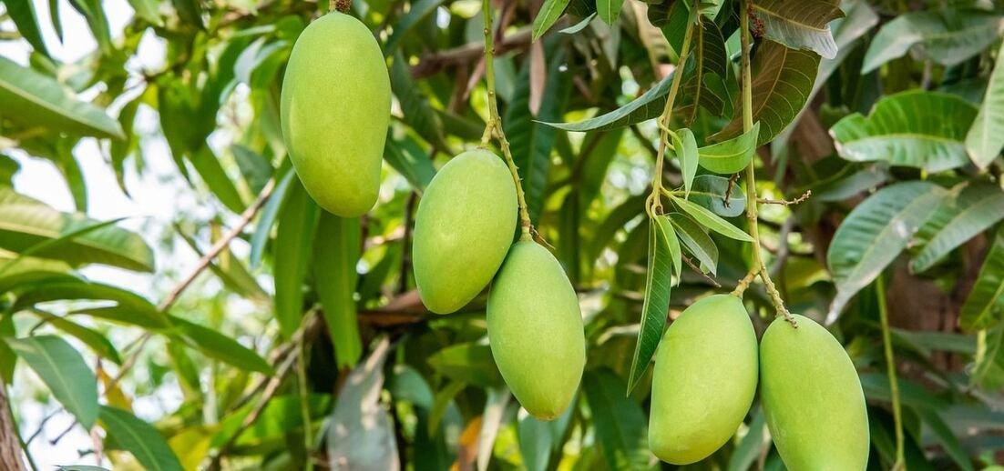 Zajímavosti o mangu: barevná exotika i symbol lásky