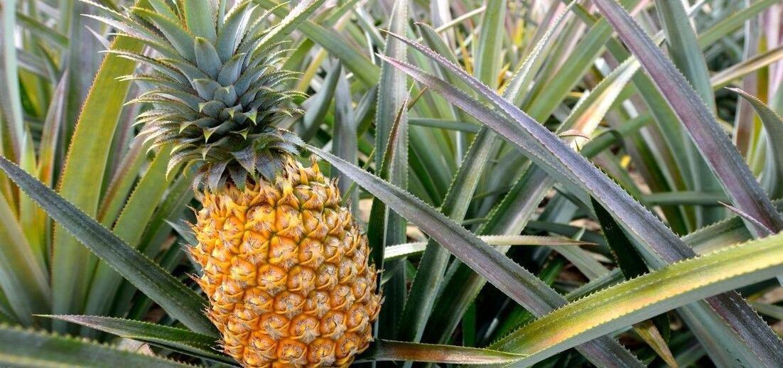 Jak roste ananas?