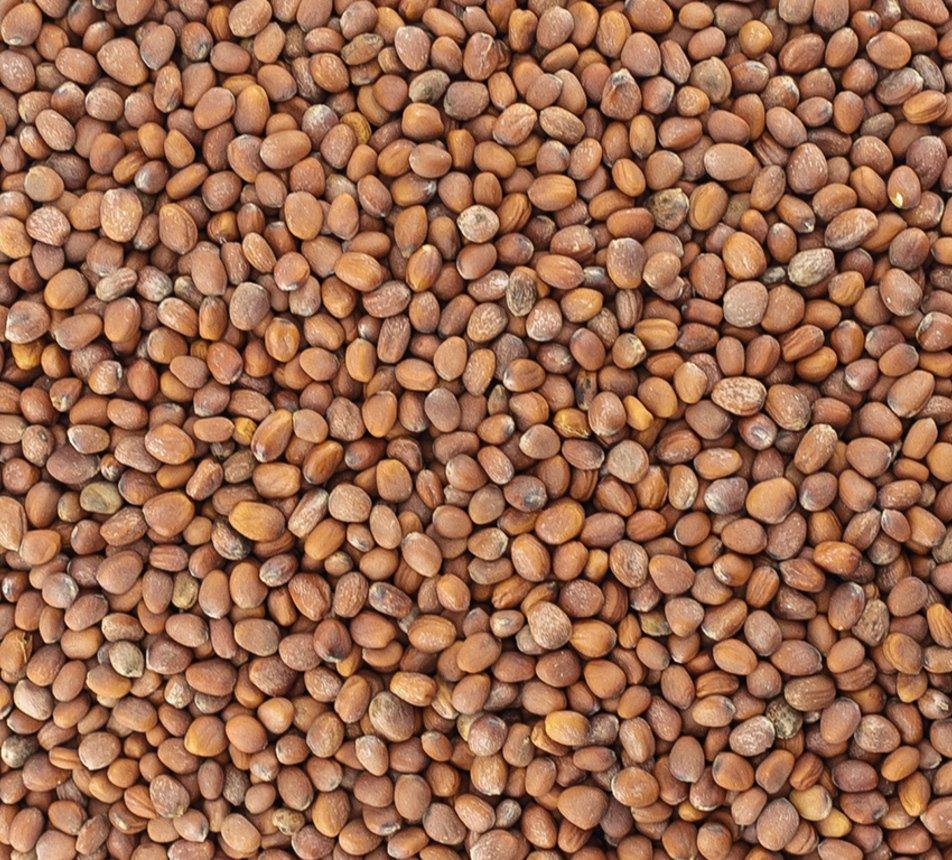Ředkev semínka na klíčení